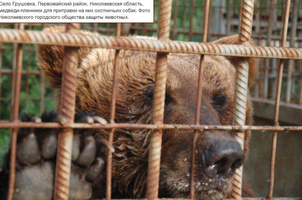 Ведмедя, який під Полтавою відкусив руку дитині, тримають для натравлювання мисливських собак