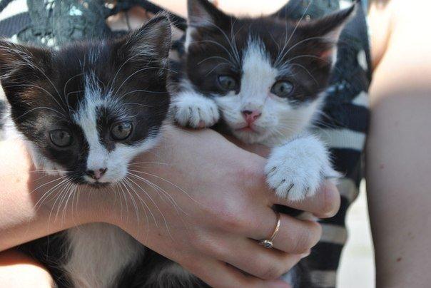 Кошенята Дуже красиві, лагідні, грайливі Привчені до лотку 050 305 82 38