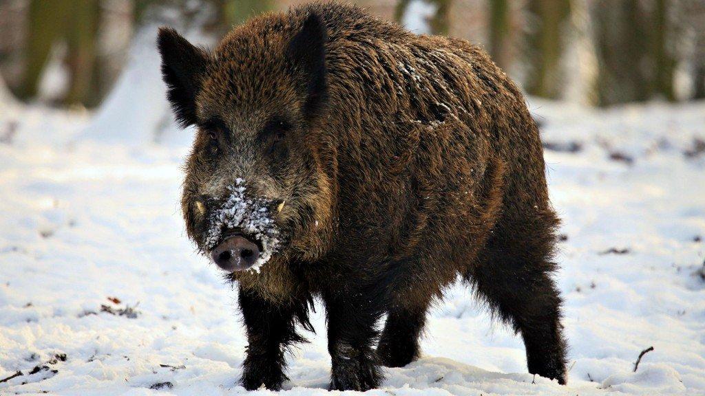 На Полтавщині знову виявили африканську чуму свиней