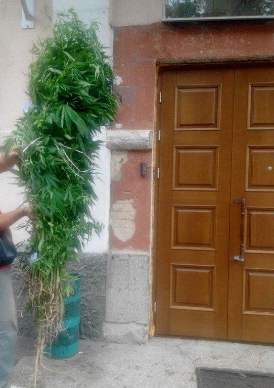 У Полтаві поліцейські вилучили понад 100 кущів коноплі