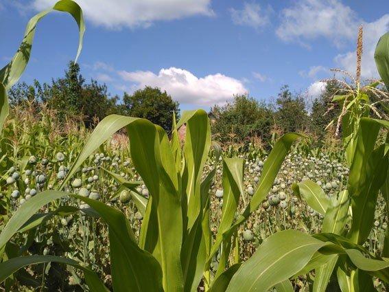 За вирощування маку на городі старенька може отримати сім років