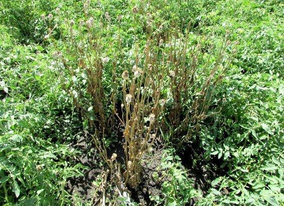 Замість городини – мак: на Полтавщині у чоловіка вилучили понад сто незаконних рослин