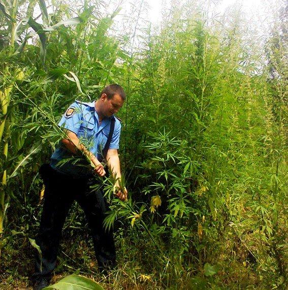 На Полтавщині на дачі чоловік вирощував чотириметровий мак