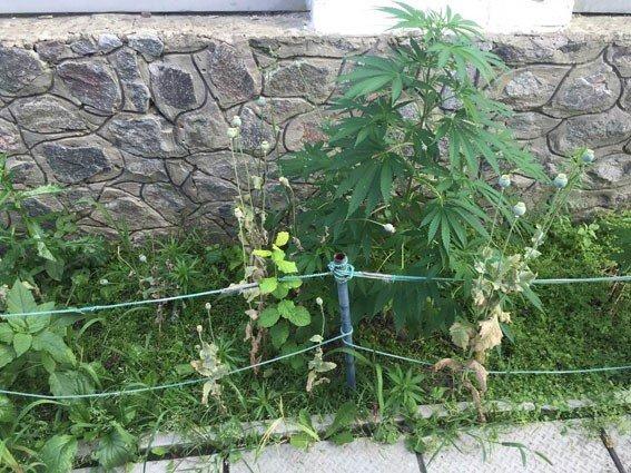 У Полтаві подружжя замість квітів вирощувало удома коноплю
