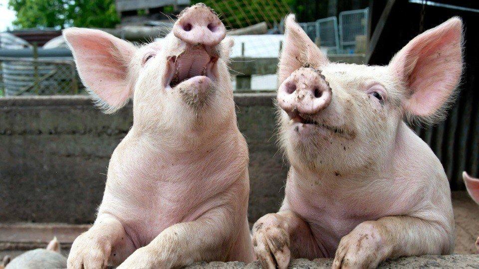 На Полтавщині зафіксували африканську чуму свиней