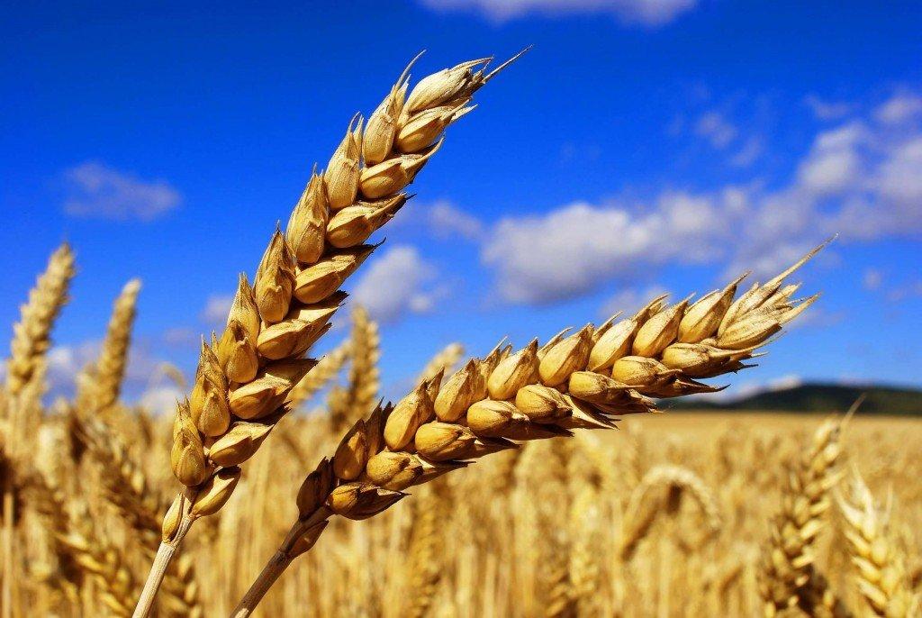 Полтавська компанія посіла перше місце за прибутком серед тих, хто вирощує зерно