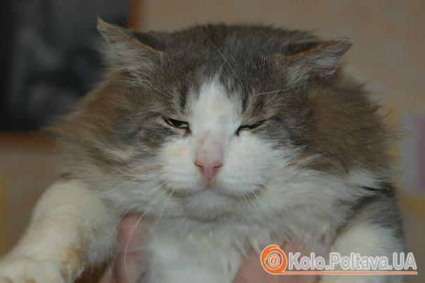 Семен Петрович, 2 роки, кастрований, привчений до лотку. 095 8617158 Катя