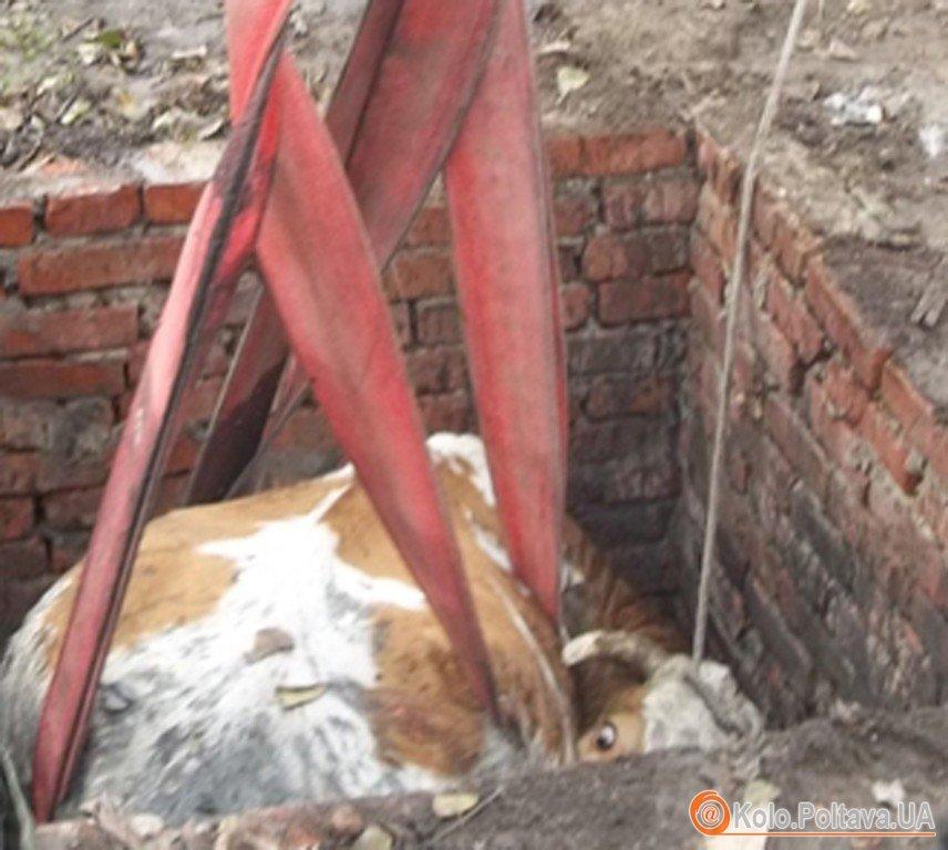 Корову витягали підв'язаними до трактора пожежними рукавами