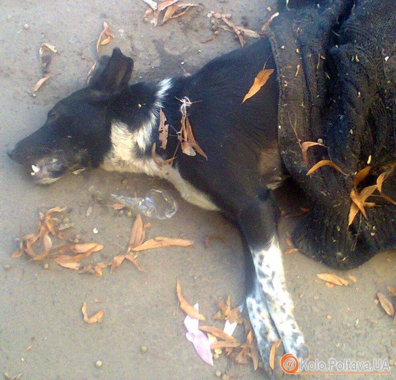 """У Полтаві продовжують жорстоко вбивати тварин. Фото надані """"Юним європейцем"""""""