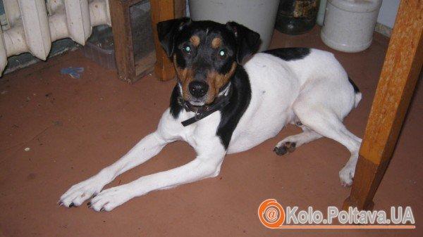 Пес Джим жив у Іспанії, а загубився в Полтаві (порода - андалузький трактирний щуролов)