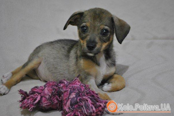 Арсеній (Сеня), цуценятко хлопчик, народився в червні 2014, буде маленьким, активний, здоровий та дуже лагідний, 050 305 82 38