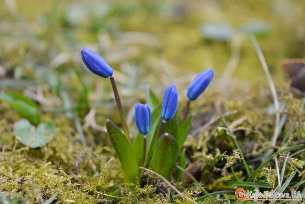 Весна прийшла у Полтави посеред лютого зацвіли проліски (ФОТО)