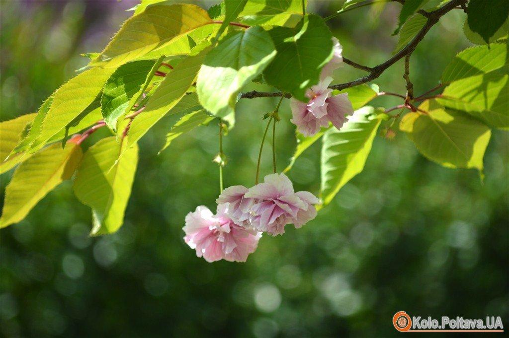 Сакура, бузок і купина що нині квітне у Полтаві (ФОТО)