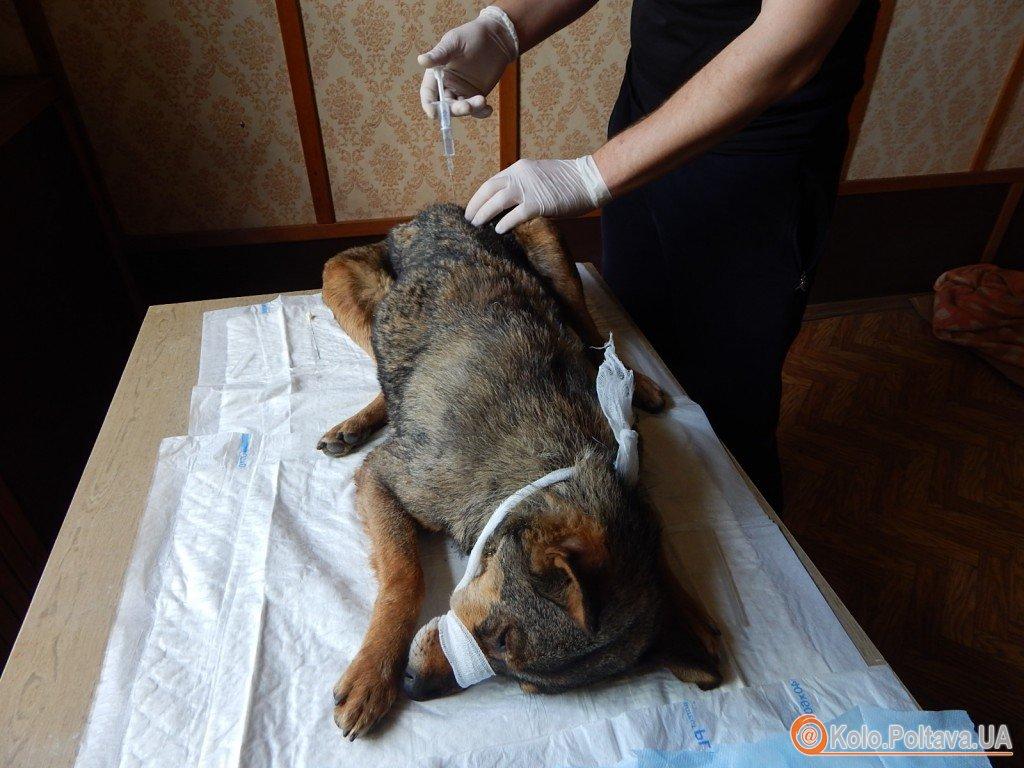 Під Полтавою стерилізують бездоглядних собак, щоб їх не вбивали
