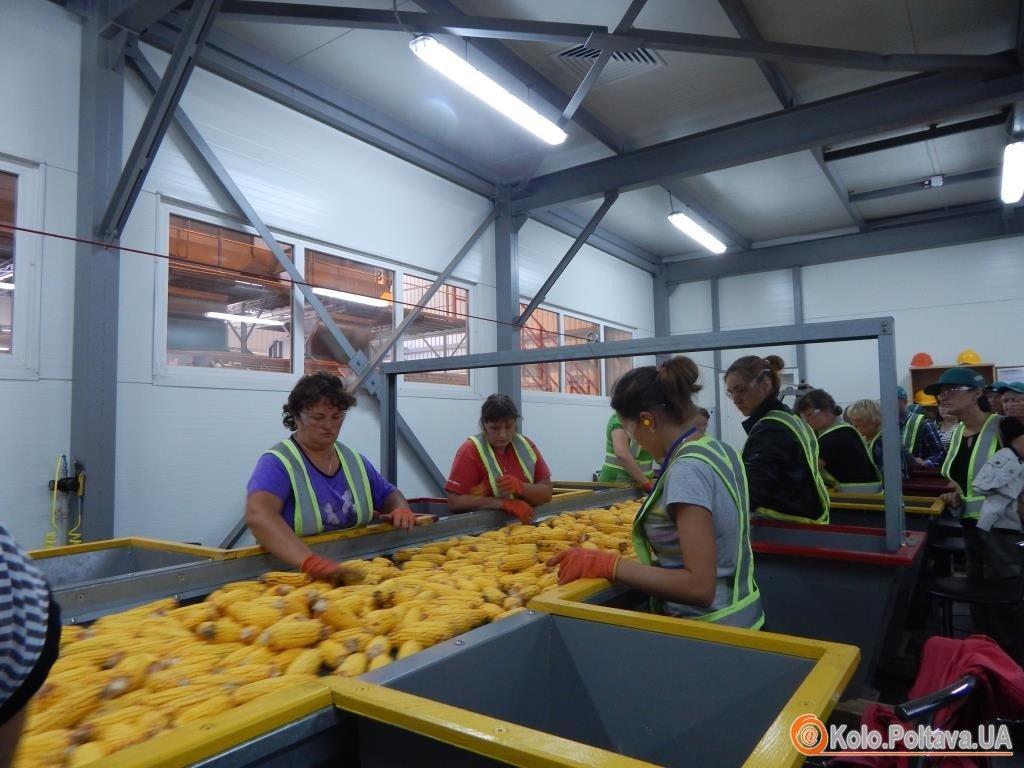 Високоякісне насіння кукурудзи та соняшника виробляють на Полтавщині