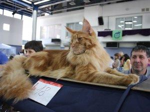 Фото: На виставку до Полтави привезли рідкісних котів і збирають гроші на армію